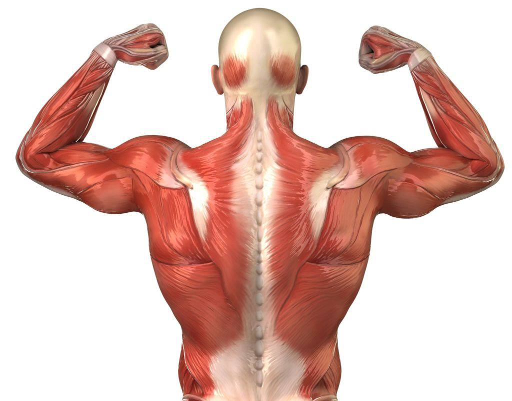 A diagram of the musculature of the back