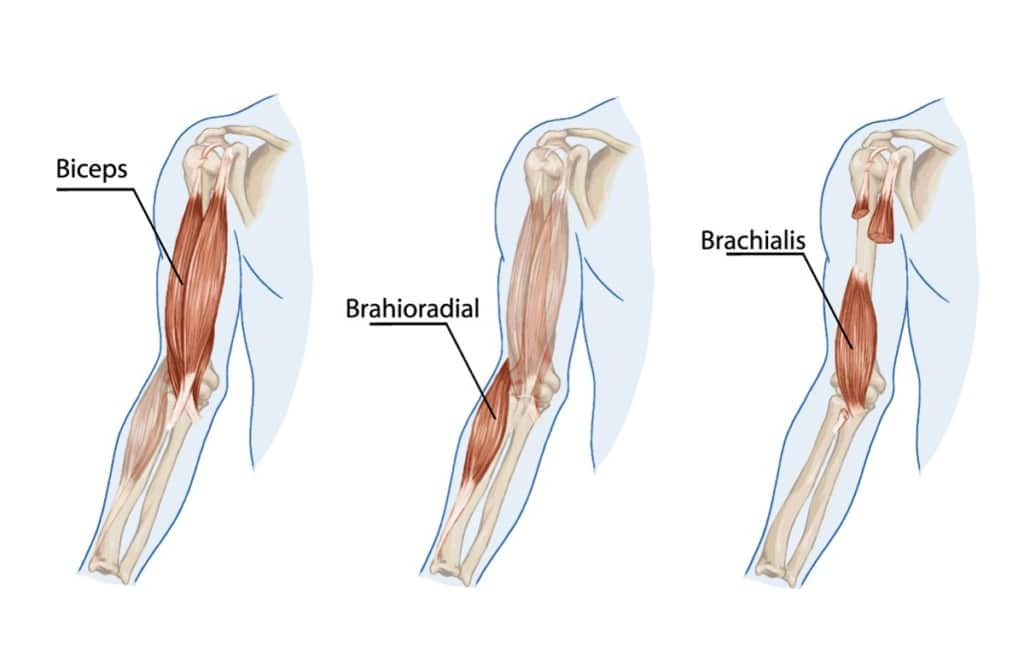 Diagram showing the biceps, brahioradialis, and brachialis