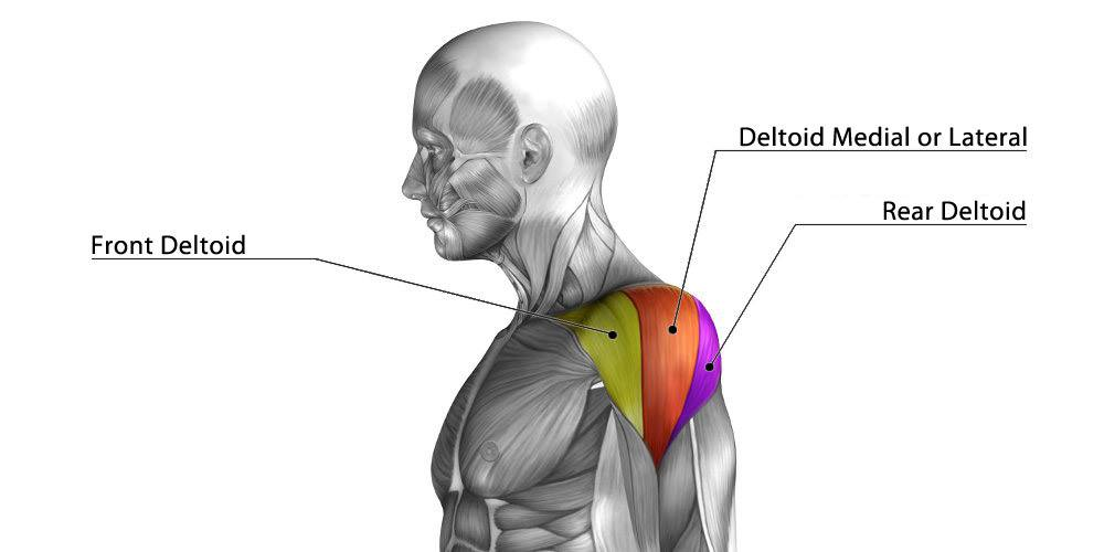 Diagram of the deltoid muscle and its three heads: front, medial, and rear