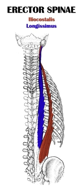 Diagram of the erector spinae muscle group