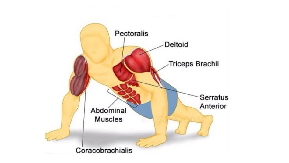 A diagram of the muscles used when performing the push-up
