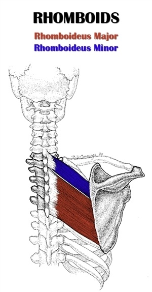 Diagram of the two heads of the rhomboid muscle