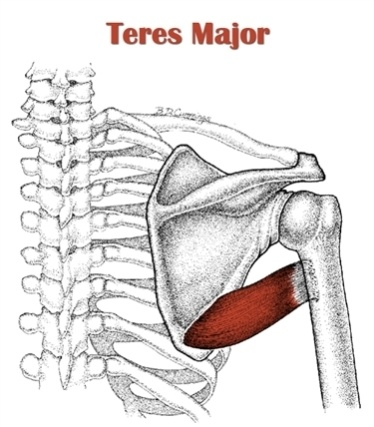 Diagram of the teres major muscle