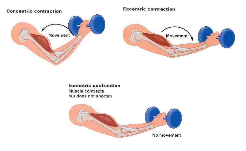 Picture presenting the three muscle contractions: concentric, eccentric, and isometric
