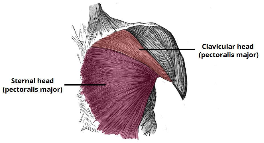 The anatomy of the pectoralis major muscle
