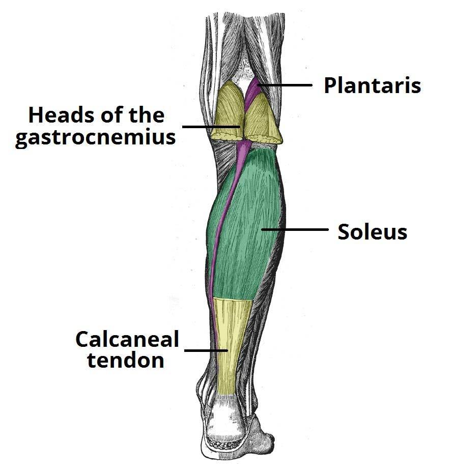 Picture of the anatomy of the calves, the muscle group which is the most difficult to develop with a leg workout