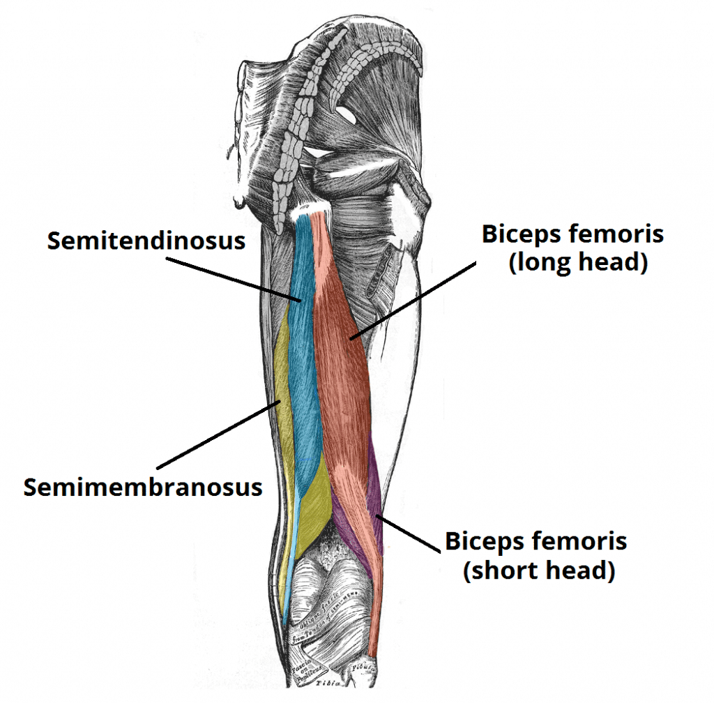 Picture of the anatomy of the hamstrings