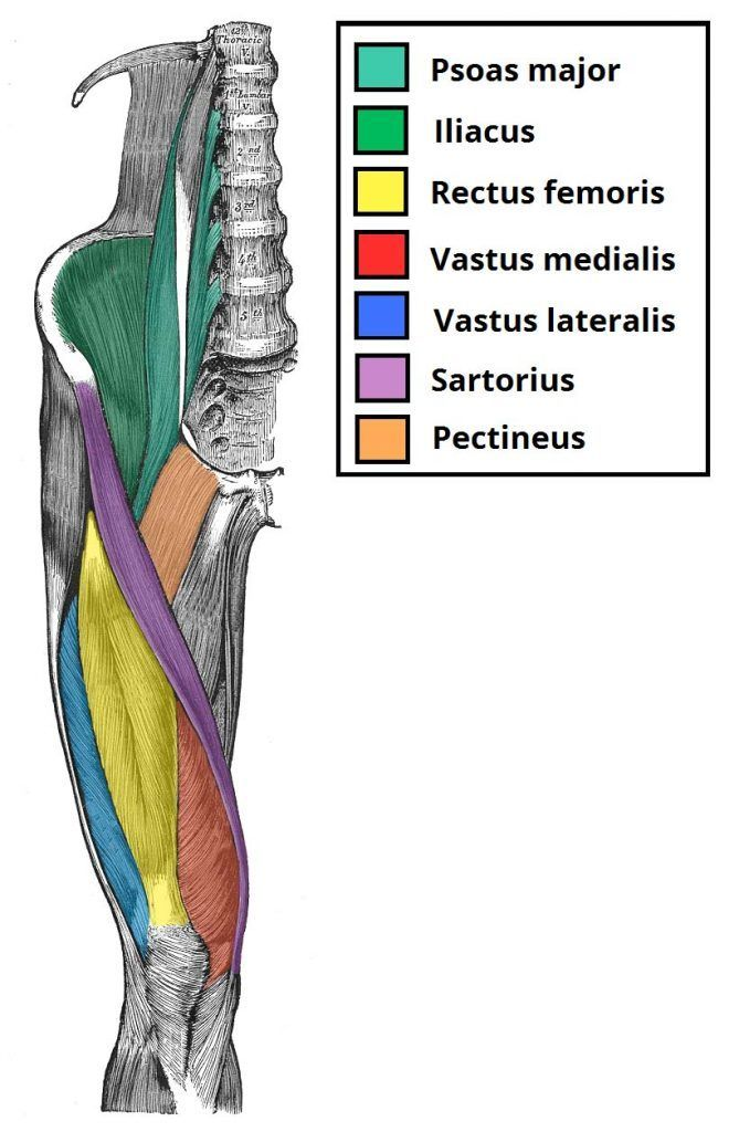 Anatomy of the quadriceps, one of the muscle groups emphasized during a leg workout