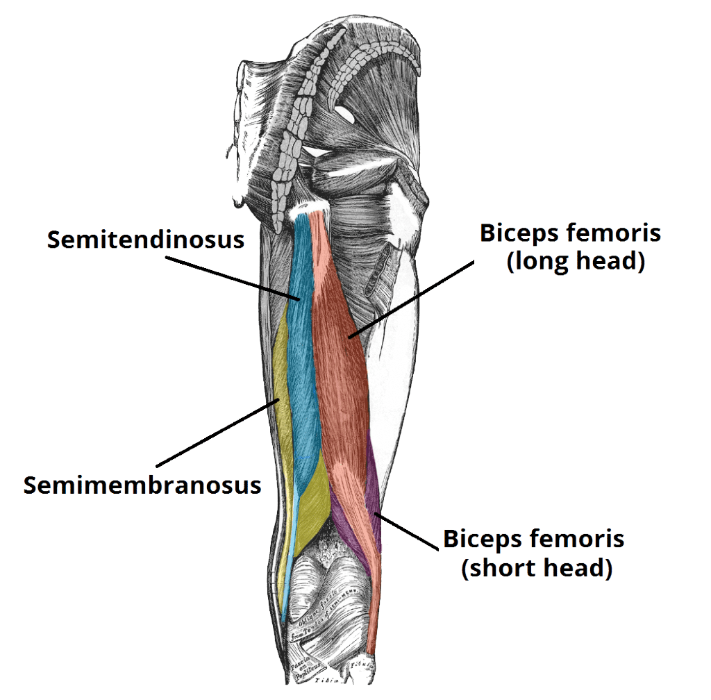 Picture of the anatomy of the hamstring