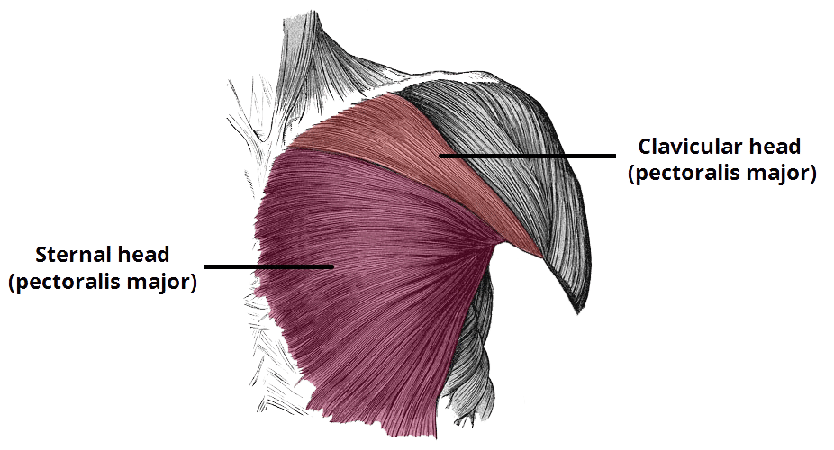The anatomy of the pectoralis major