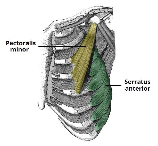Diagram of the pectoralis major and serratus anterior