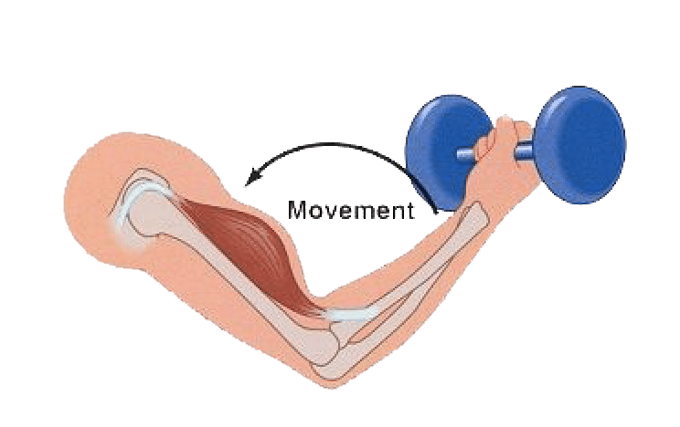 Diagram of a concentric muscle contraction