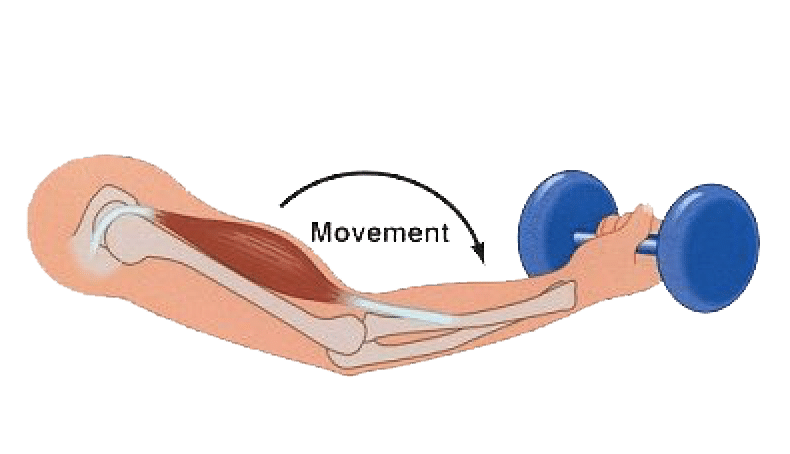 Diagram of an eccentric muscle contraction