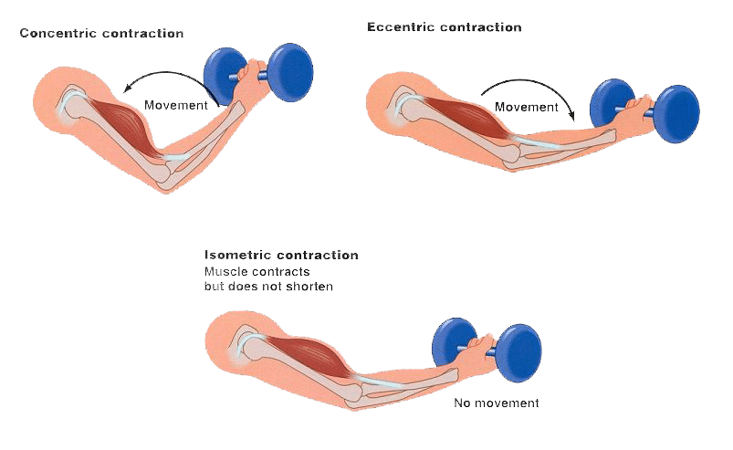 Diagram showing the concentric, eccentric, and isometric muscle contractions