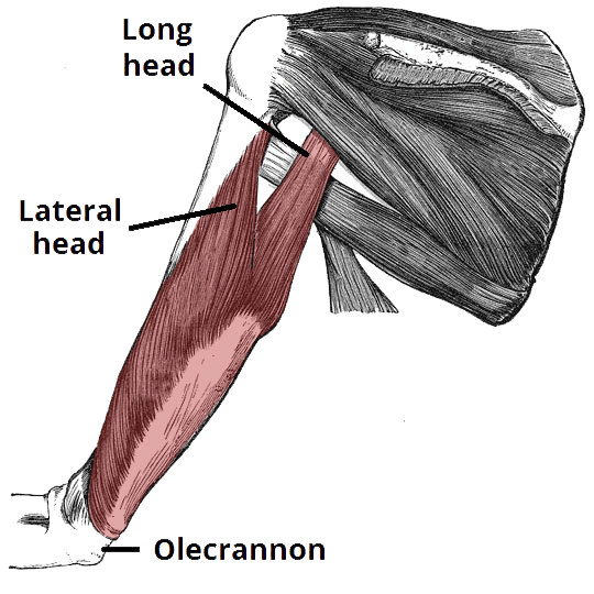 Anatomy of the triceps with its three heads